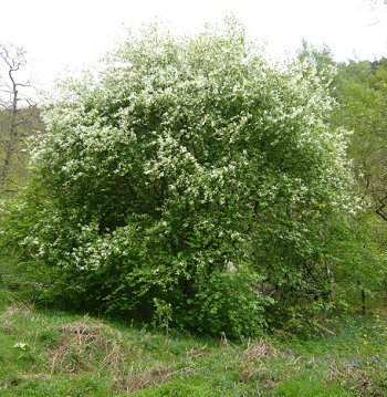 bird cherry Prunus padus