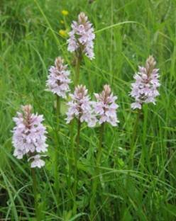 common spotted orchids Dactylorhiza fuchsii