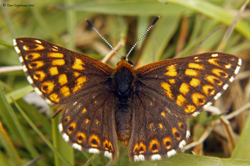 duke of burgundy upperside
