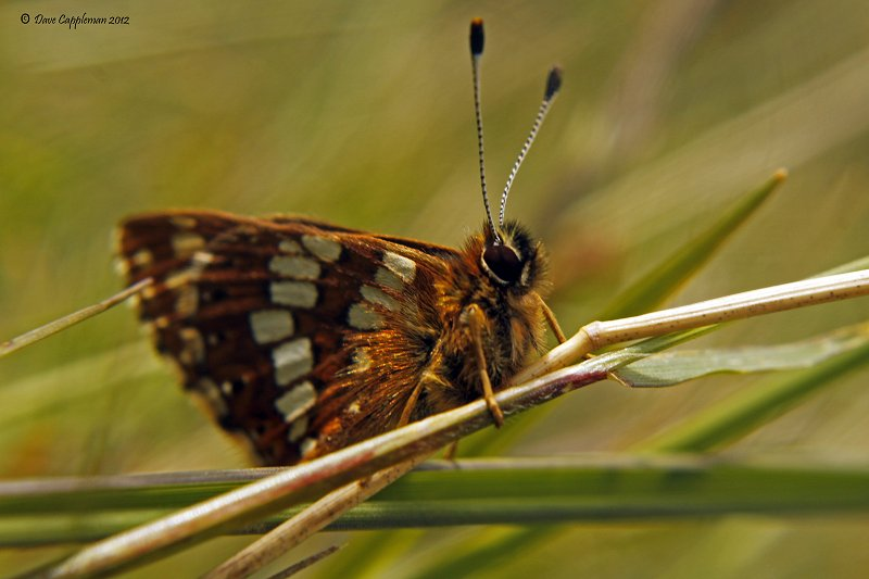 duke of burgundy underside