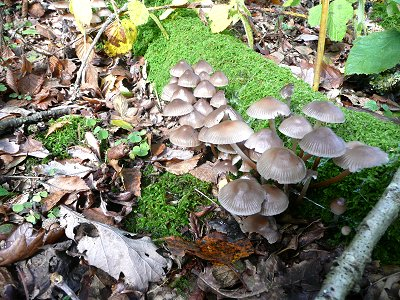 Mycena inclinata - Clustered Bonnet