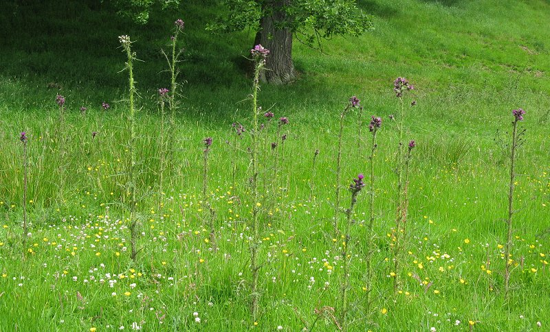 Meadow with marsh thistles