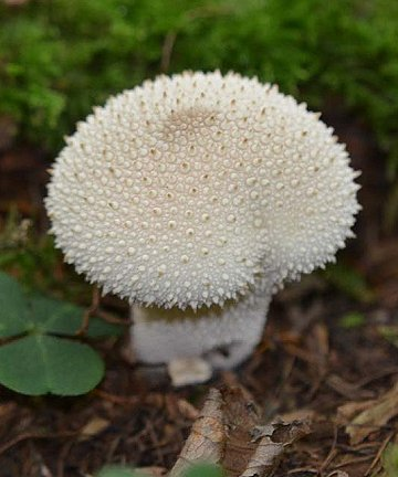 Common Puffball Lycoperdon perlatum