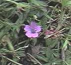 Cut-leaved Geranium