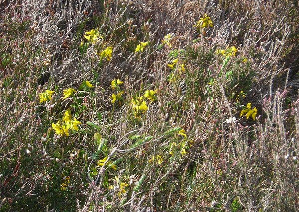 petty whin Genista anglica
