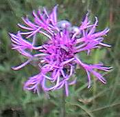 Great knapweed