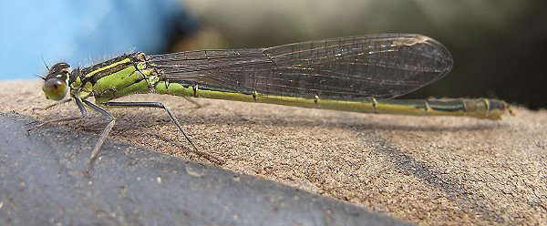 blue-tailed damselfly female infuscans