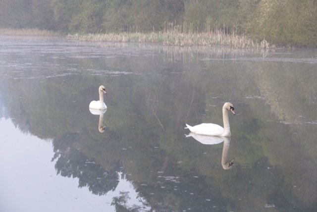 Mute swans on the lake