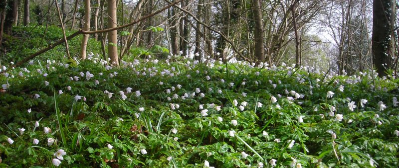 Wood anemones Anemone nemorosa under trees
