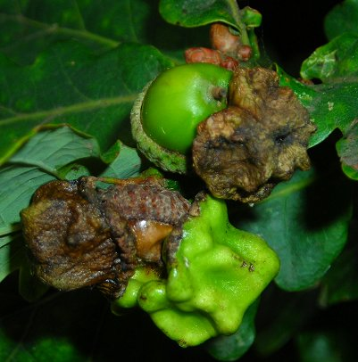 knopper gall on Quercus robur