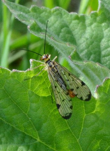Scorpion fly Panorpa sp.