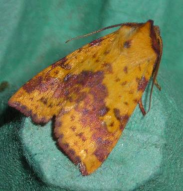 pink-barred sallow moth