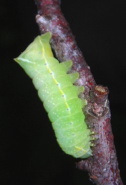 caterpillar of Copper Underwing