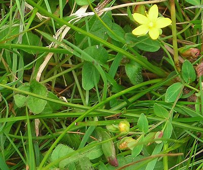 trailing st johnswort